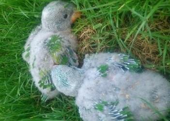 papugi aleksandretty chińskie do chowu ręcznego