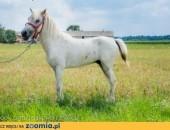 Śliczny, biały KUCYK szuka nowego domu!,  Oddam konia cała Polska