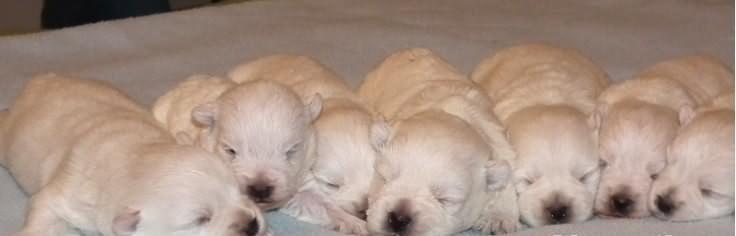 Sprzedam West Highland White Terrier