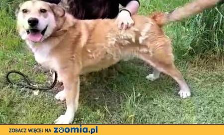 ROGALIK - piękny, prze kochany psiak wpada w depresję w schronisku!,  mazowieckie Warszawa