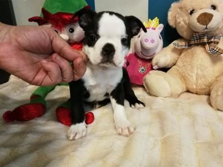 Boston Terrier z pokoleniowym rodowodem       mazowieckie Wyszków