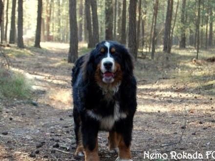 Berneński pies pasterski piękny piesek z rodowodem ZKwP/FCI