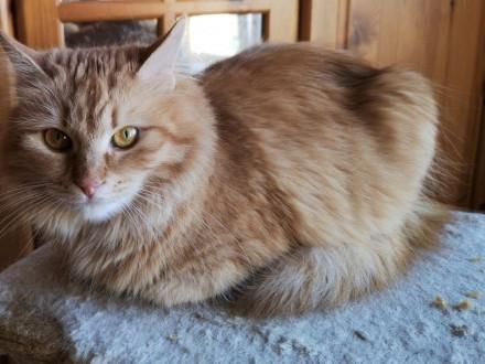 Ruda Kotka Syberyjska czeka na dom