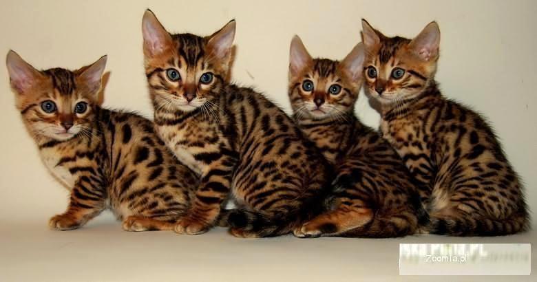Świeże KOTY SAVANNAH I BENGALSKIE - HODOWLA...KOCIĘTA « Bengalski « Koty CA97