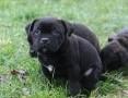 'Rodowodowe szczenięta staffordshire bull terrier