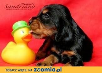 COCKER SPANIEL ANGIELSKI - rodowodowe szczeniaczki - różne umaszczenia