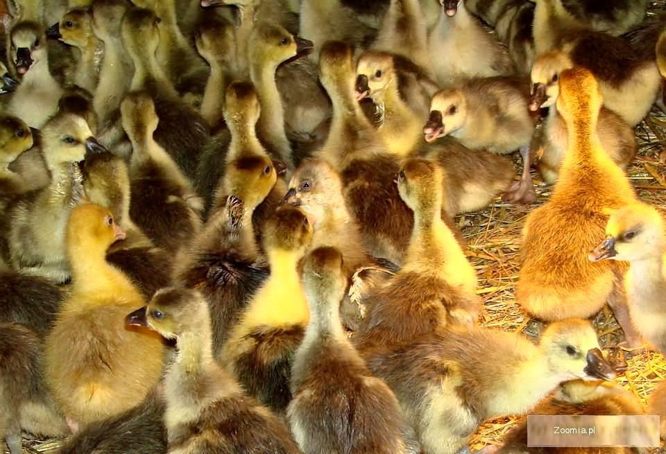 Kaczki i Gęsi :Mulard , Pekin , Dworka