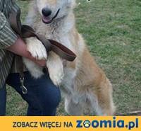 GUCIO - ok. 10miesięczny średniej wielkości psiak szuka dobrego domu!,  mazowieckie Nasielsk