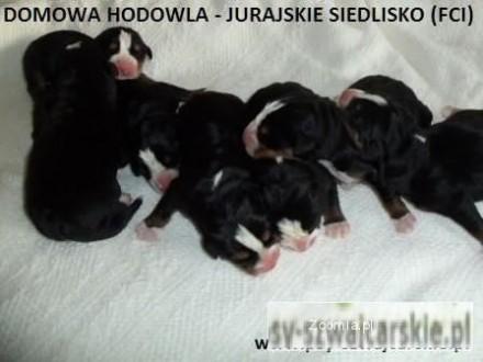 Sprzedam szczeniaki Duży Szwajcarski Pies Pasterski
