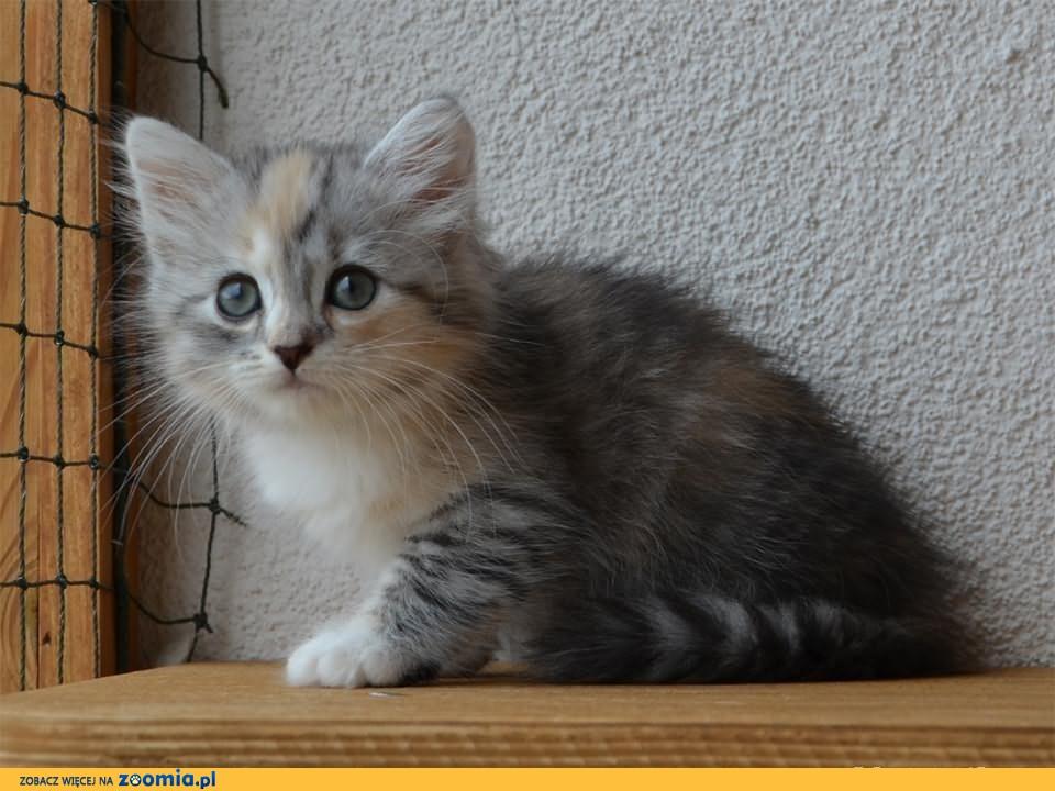 Kocięta syberyjskie * kot syberyjski - koteczka Pavla