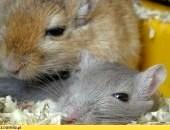 Oddam za darmo dwa myszoskoczki