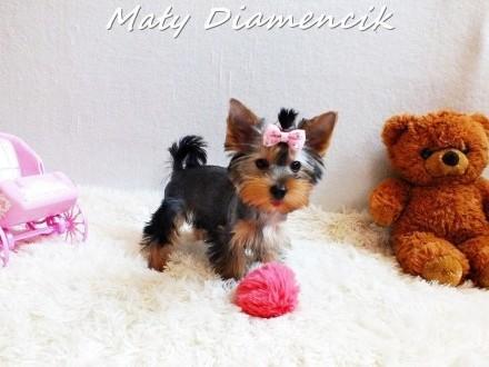 Yorkshire Terrier MINI dziewczynka 2miesiące York Miniaturka+Rodowód+MikroCzip+Wyprawka Kraj i Zagranica