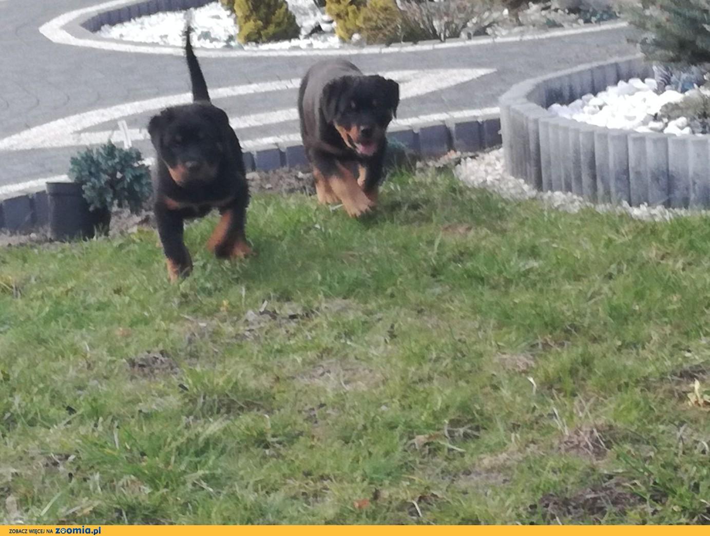 Rottweiler rodowodowe szczenieta