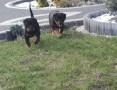 'Rottweiler rodowodowe szczenieta