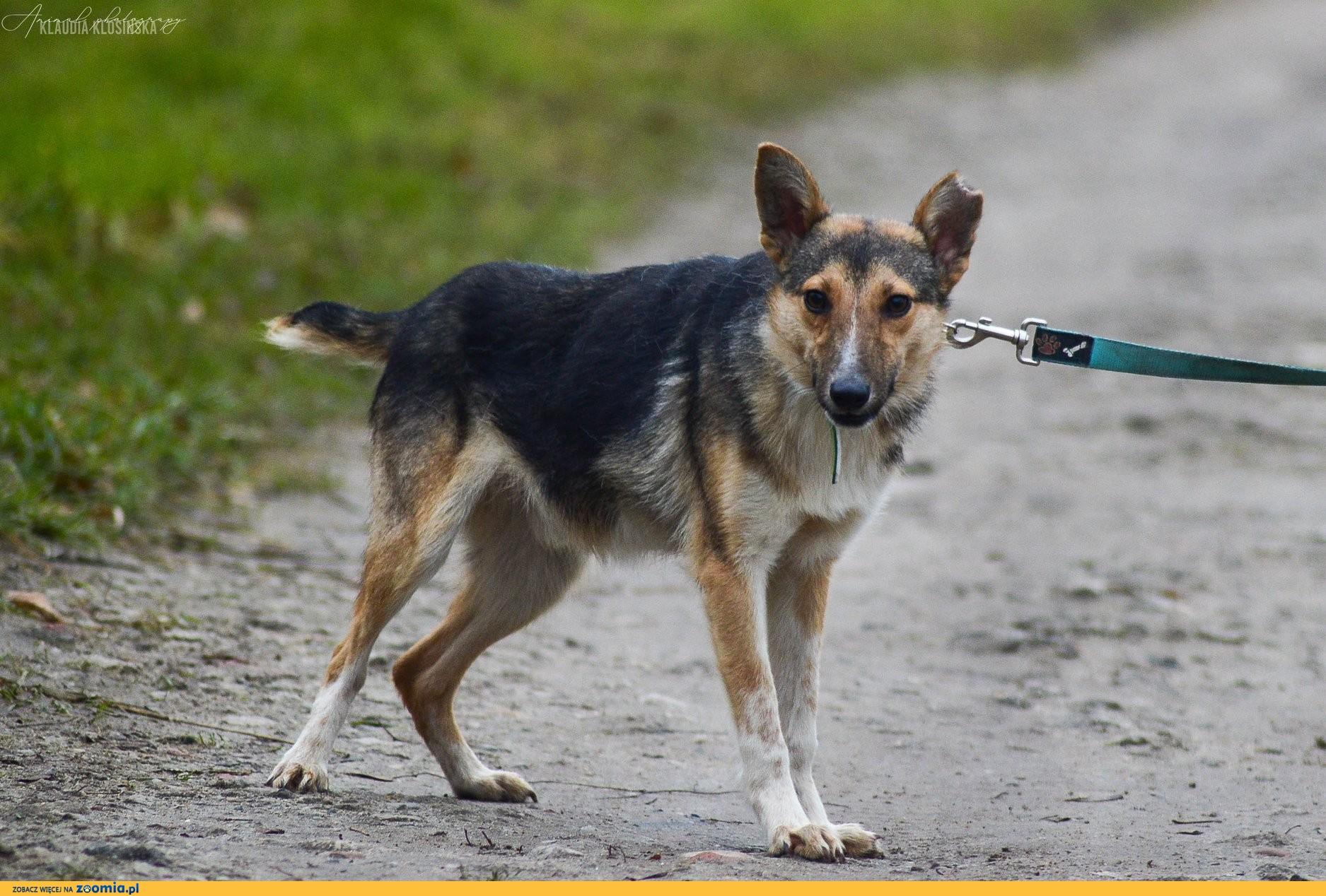 Kojot, wesoły psi dzieciak szuka domu!