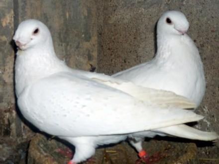 Sprzedam gołębie orliki garbonose