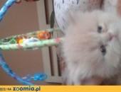 Sprzedam kocięta perskie z rodowodem,  wielkopolskie Koło