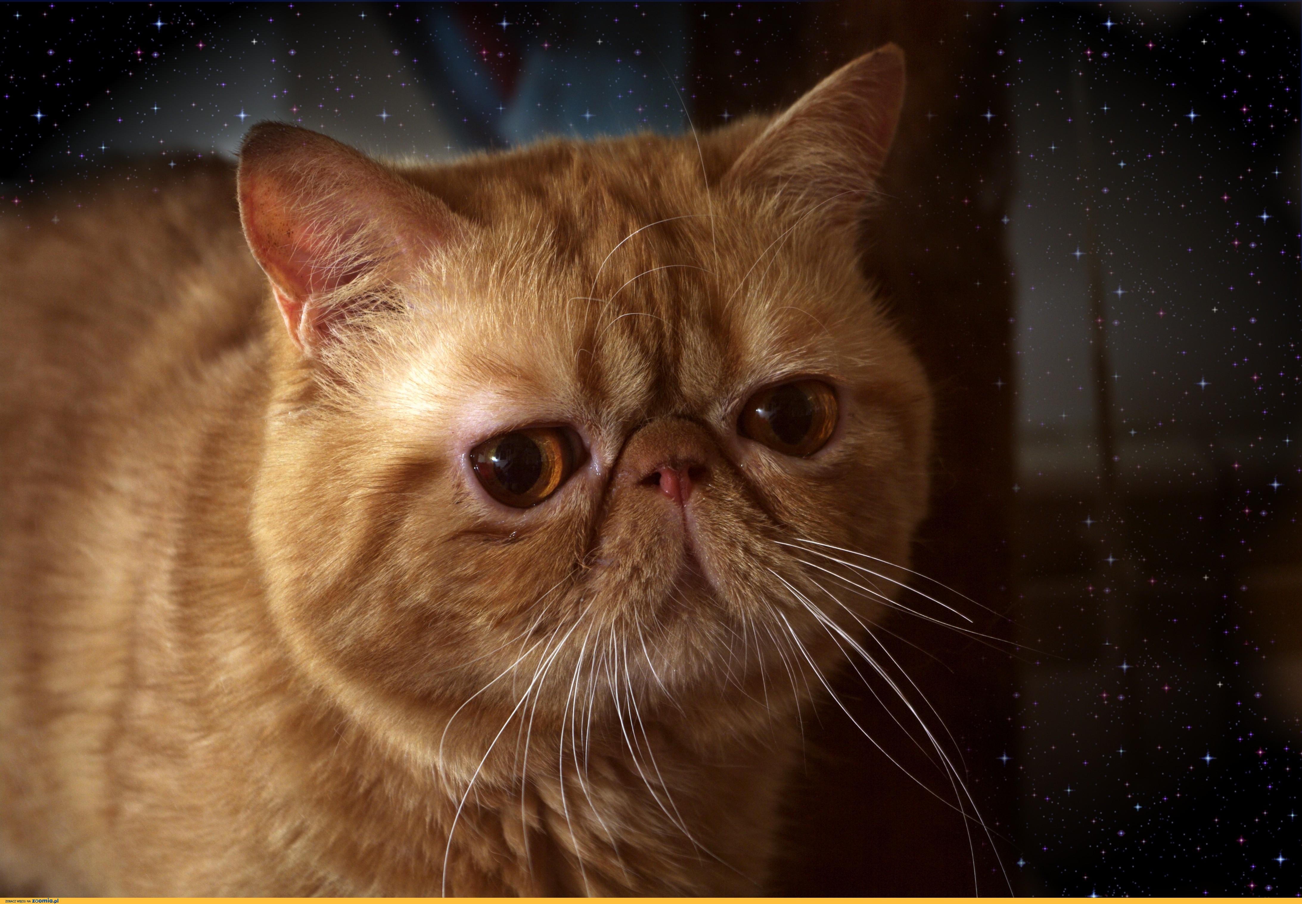Oferuję Krycie Pięknym Kocurem Egzotycznym Egzotyczny Koty