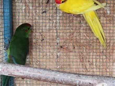 Papugi kozy modrolotki para