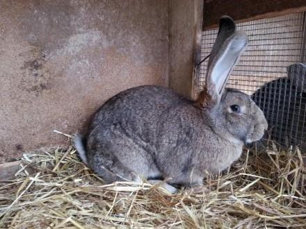 Sprzedam królika BOS samica