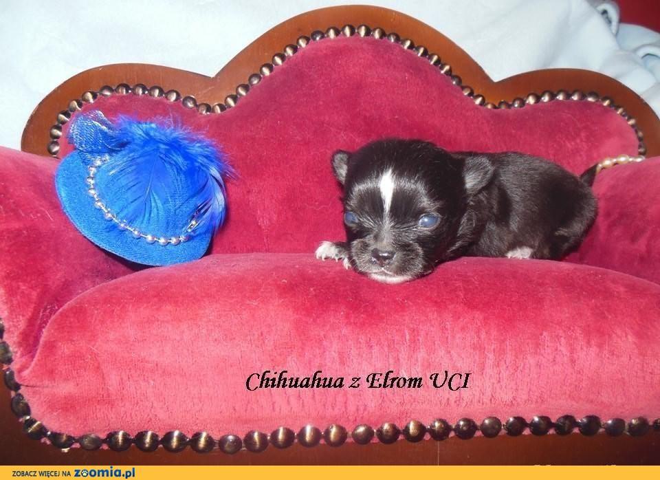 Chihuahua, piesek długowłosy- REZERWACJA