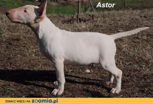 Bull Terrier,  mazowieckie Warszawa