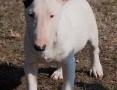 'Bull Terrier,  mazowieckie Warszawa