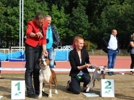 AMSTAFF - American Stafordshire Terrier - KRYCIE