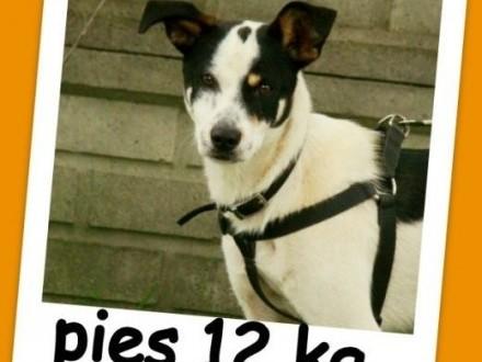 Waga 12 kg łagodny sympatyczny grzeczny ładny psiak ŁATEKAdopcja   małopolskie Kraków