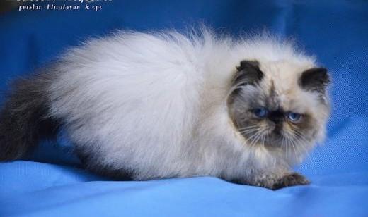 kocieta perskie - kotka colourpoint seal   dolnośląskie Legnica