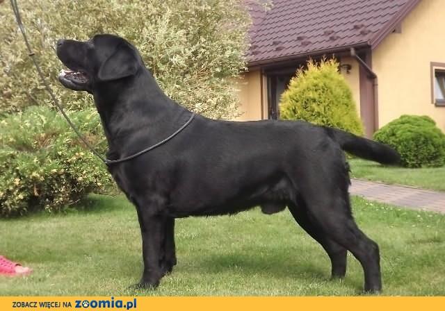 Labrador - czarny chłopak