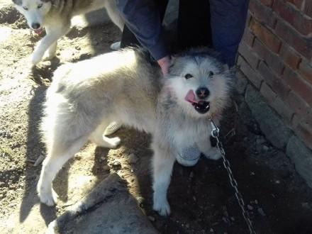 Sunia husky i jej syn szukają domu!