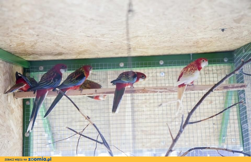 Papuga Rozella Białolica, młode samce i samica rozelli białolicej