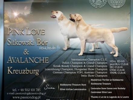 Labrador biszkoptowe szczenięta ZkwP o/Kielce FCI