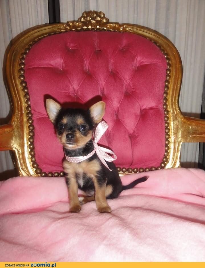 Mini suczka Chihuahua ,prawdziwa czarno-podpalana piękność!
