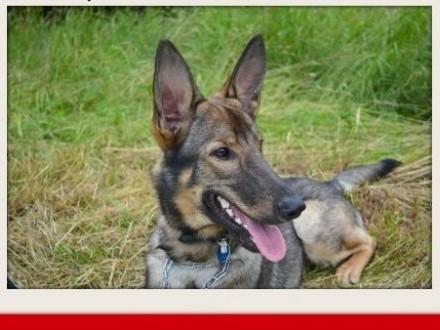 BELGIŚ młody owczarek mix wesoły pies a domu tymczas   śląskie Bielsko-Biała