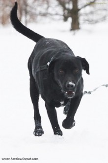 Czarny pies - kocha dzieci  wesoły i przyjacielski  szuka domu