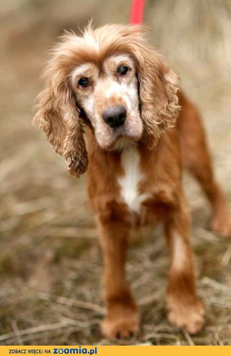 Rewelacyjny Ogłoszenia: oddam psa, oddam szczeniaka Spaniel pl 1 WZ14
