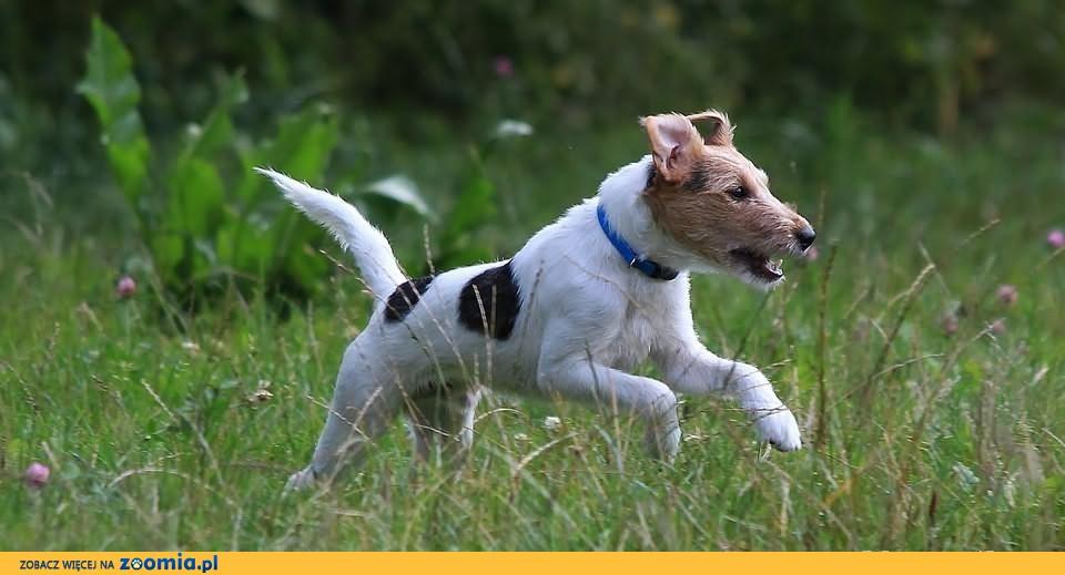 Parson Russell Terrier szczenię w Warszawie