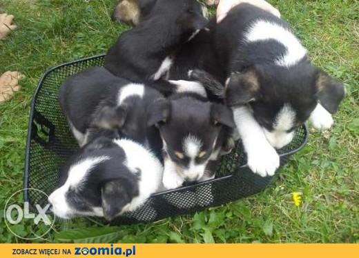W Ultra PILNIE ODDAM ZA DARMO SZCZENIAKI, lubelskie Łuków « Dog Adoptions LU53
