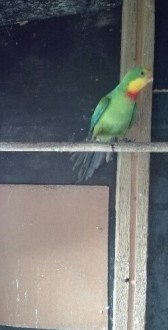 Sprzedam papuge Barabande