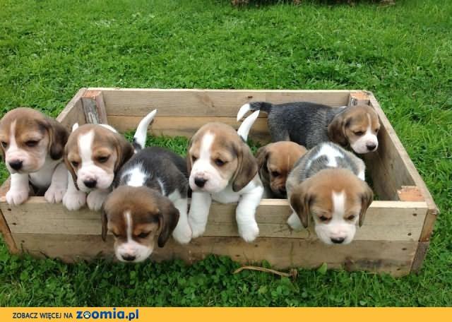 Rasy Szczeniaki Beagle