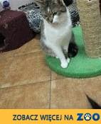 Kot Aris szuka domu!,  dolnośląskie Głogów