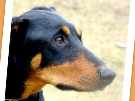 Doberman piękna suka DOBI przyjacielska zrównoważona_Adopcja_