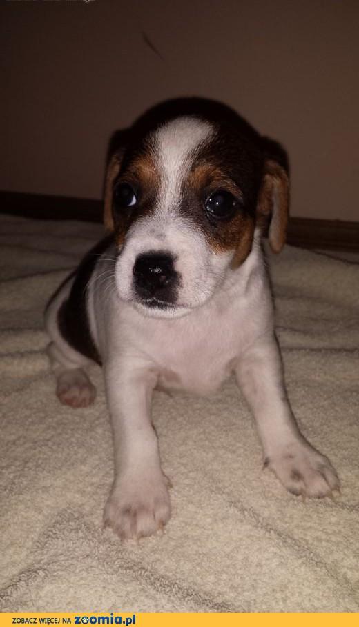 Jack Russell Terrier,  śląskie Częstochowa