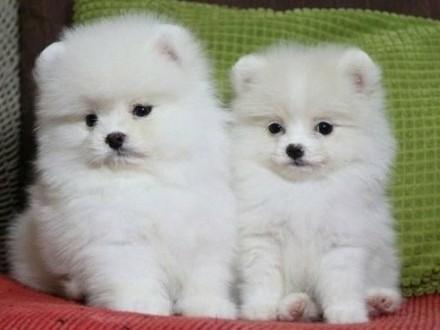 Pomeranian Sliczne malenkie szczenieta Miniaturka!!