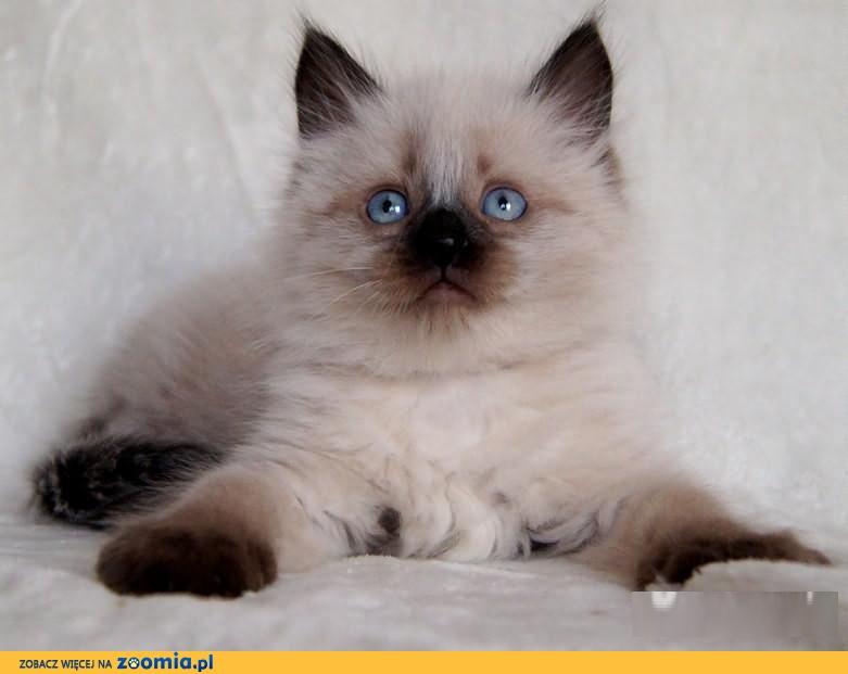Koty Kocięta Syberyjskie Neva Masquerade Hodowla Gledicziapl