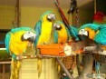 ALEKSANDRETTA OBROŻNA Psittacula krameri - ZooWitekpl