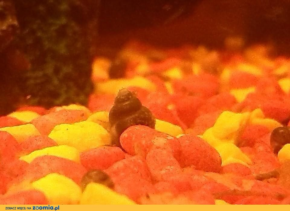 ślimaki akwariowe