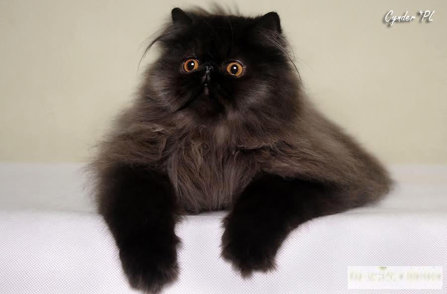 Piękne Kocurki Perskie Czarny I Colorpioint Perski Koty